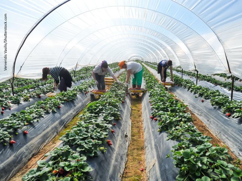 Mujeres recogiendo fresa en un invernadero