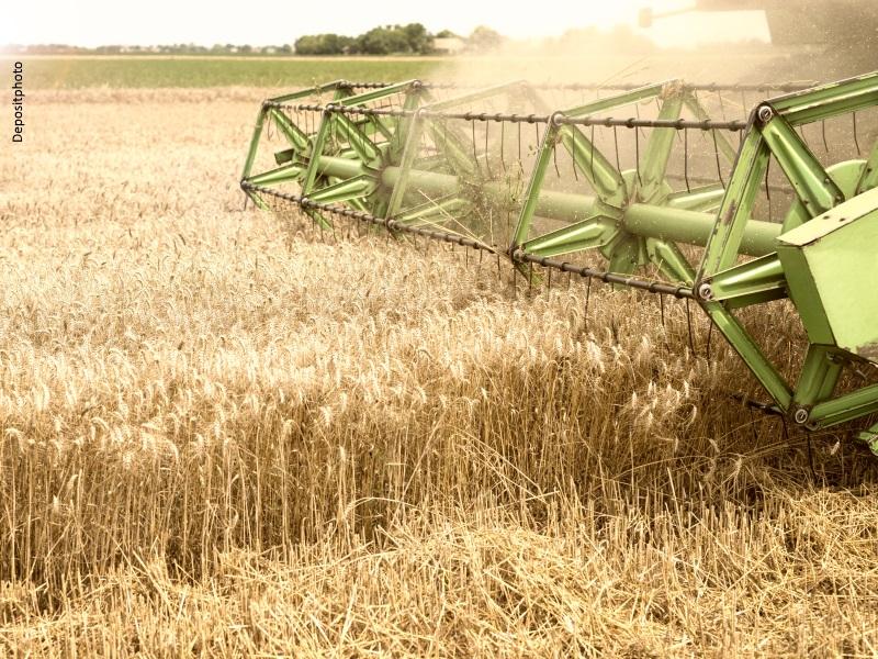 Máquina trilladora cortando espigas de trigo