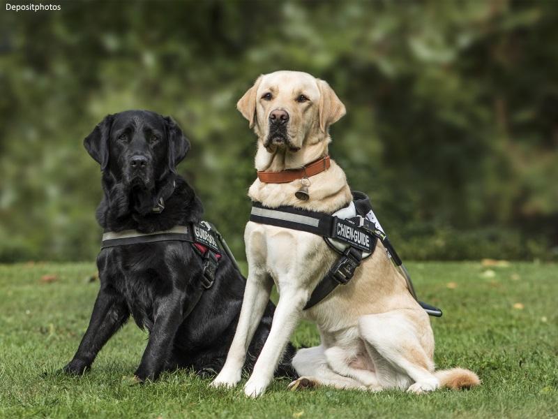 Perros guía Labrador